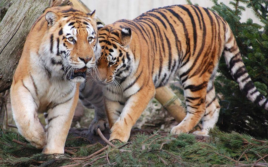 Tiger pair wallpaper