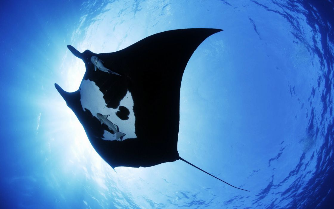 Manta ray sea creature wallpaper