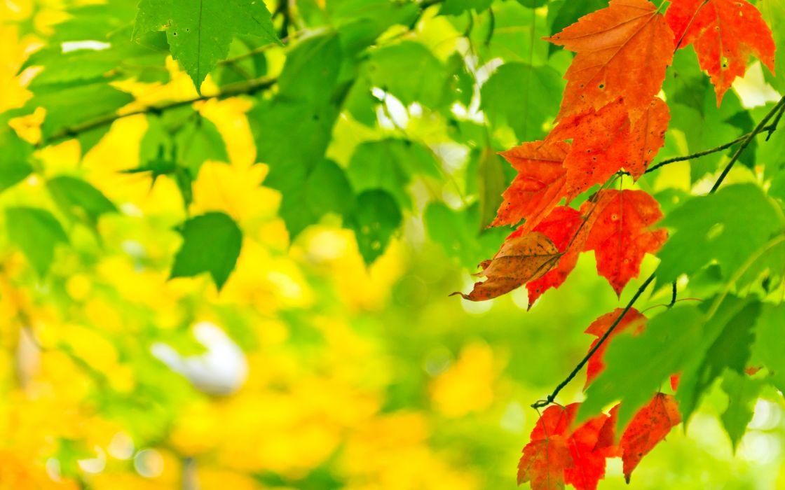 Red leaf between green ones wallpaper