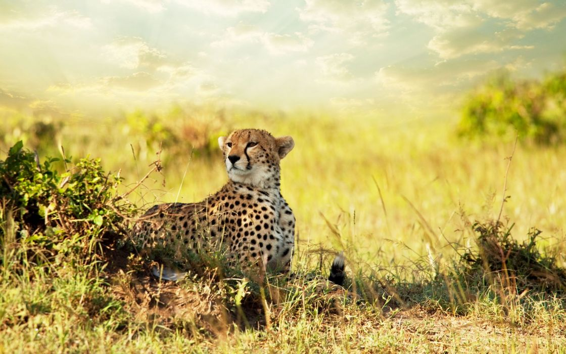 Cheetah savanna africa wallpaper