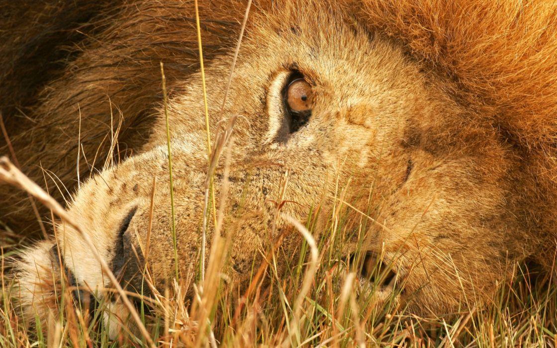 The eye of lion wallpaper