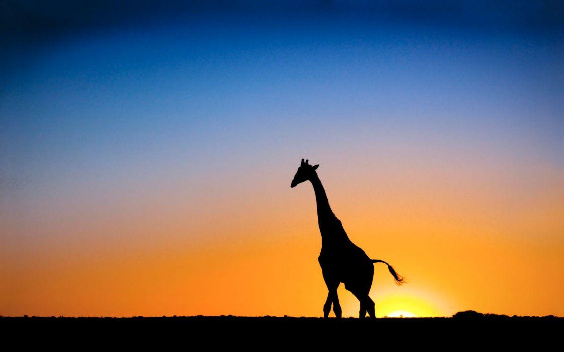 Sunset  giraffe botswana wallpaper