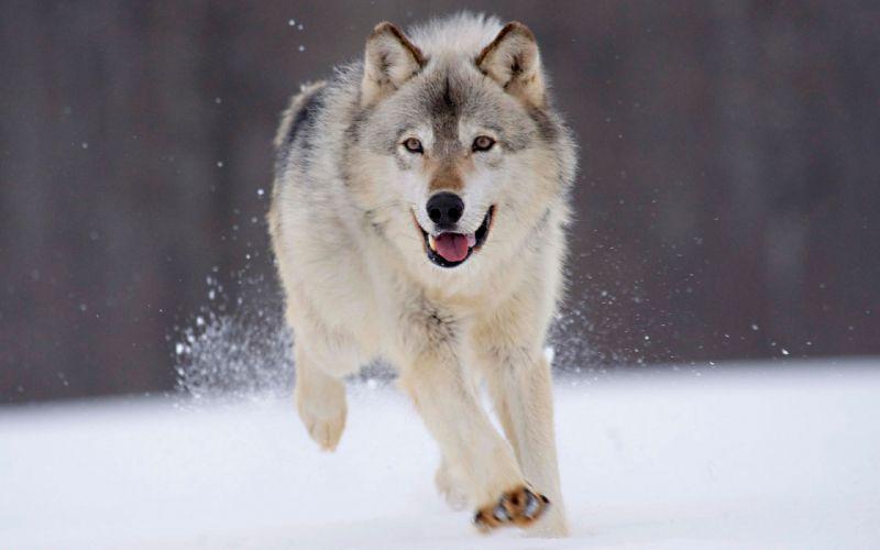 Gray wolf minnesota wallpaper