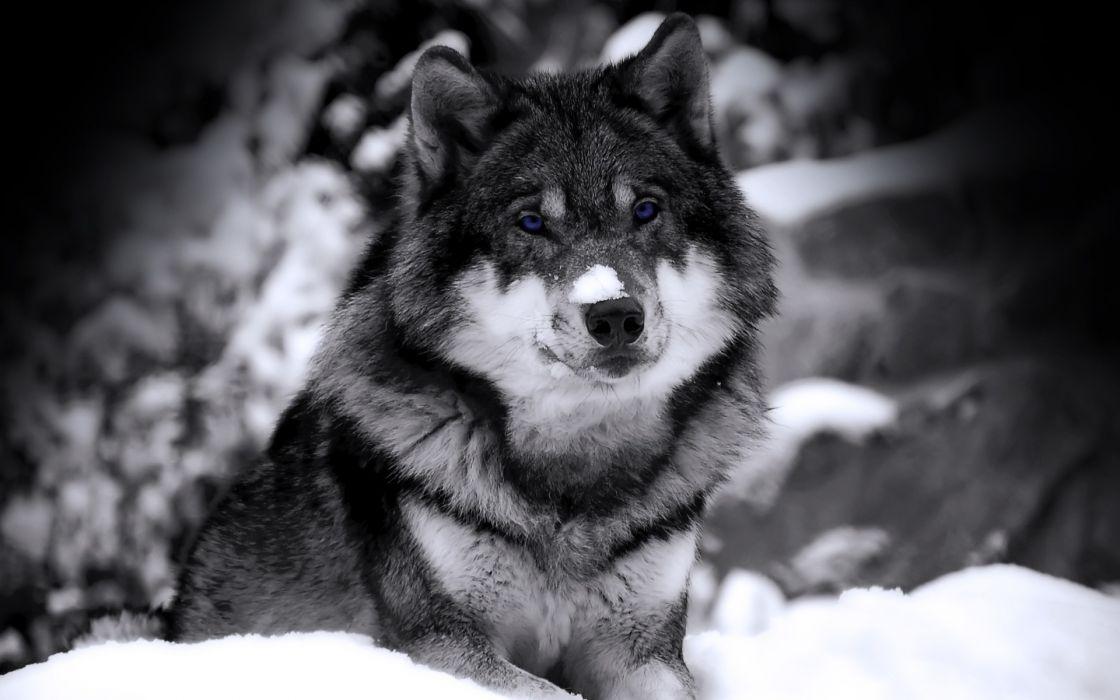 Mysterious wolf wallpaper