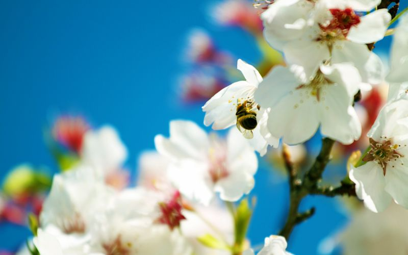 Spring bee wallpaper