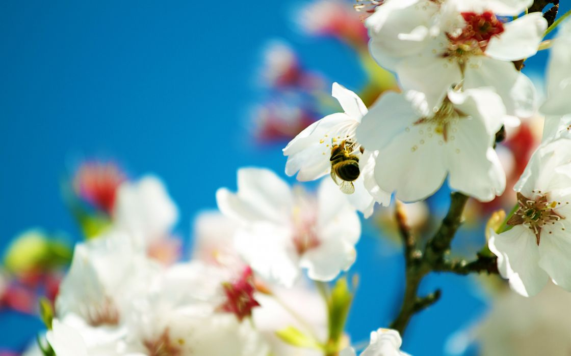 Spring bee wallpaper
