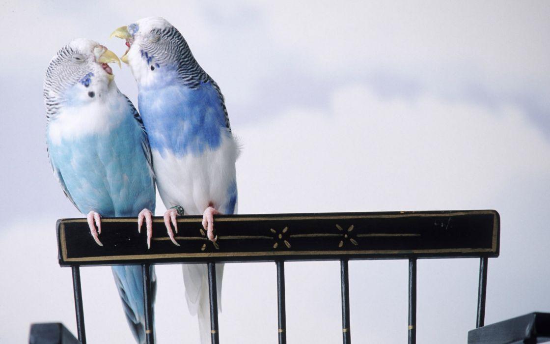 Cantankerous parakeets wallpaper