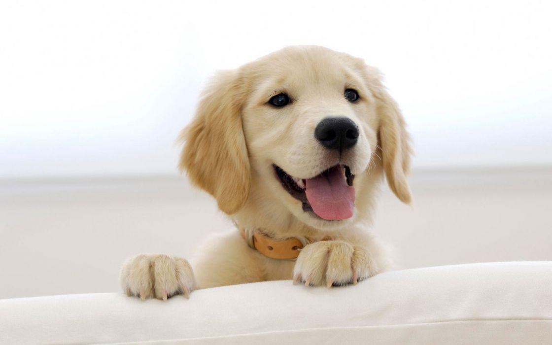 Golden retriever puppy wallpaper