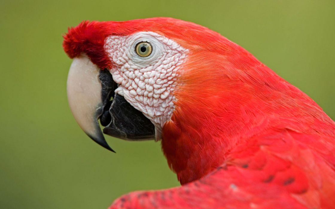 Scarlet macaw portrait amazon wallpaper