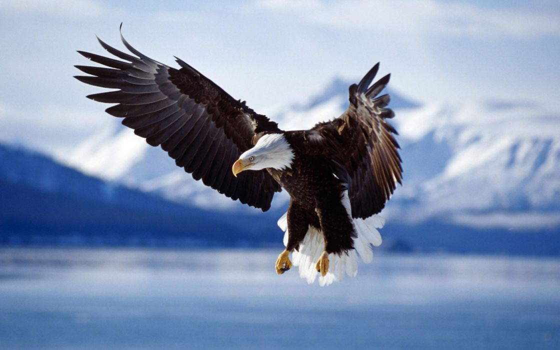 Bald eagle in flight alaska wallpaper