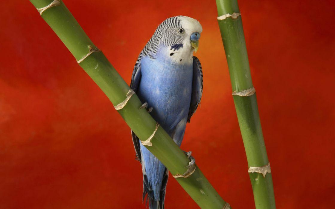 Colorful budgerigar wallpaper