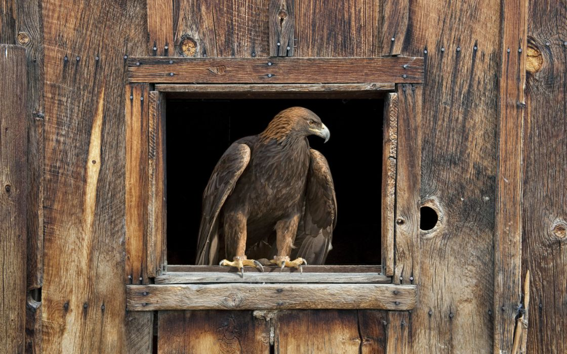 Barn eagle wallpaper