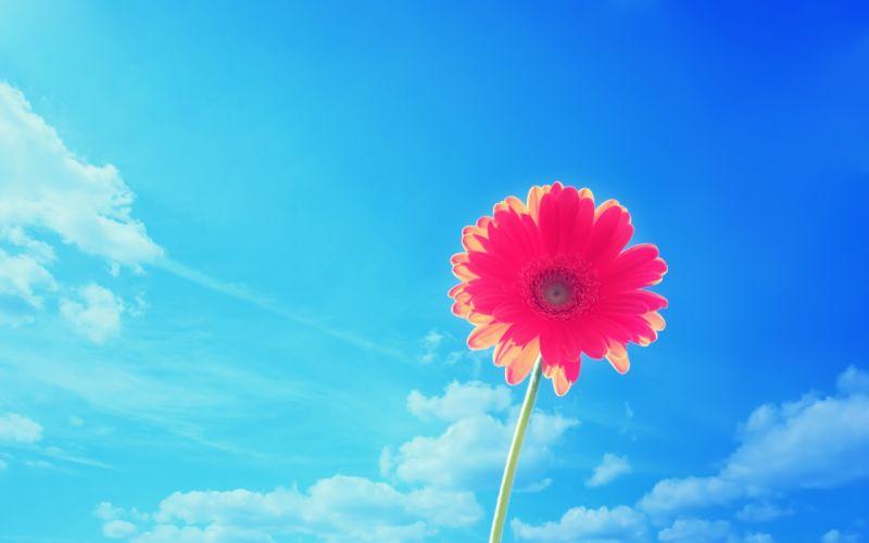 Pink gerbera flower wallpaper