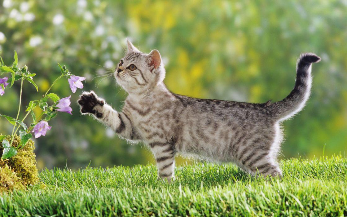 British shorthair kitten wallpaper
