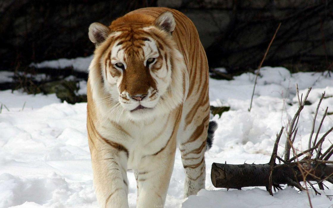 Strange snow tiger wallpaper