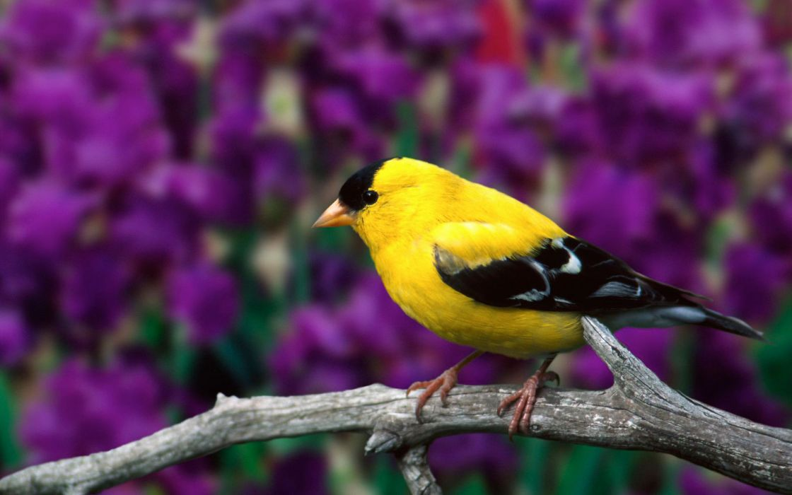 Male american goldfinch wallpaper