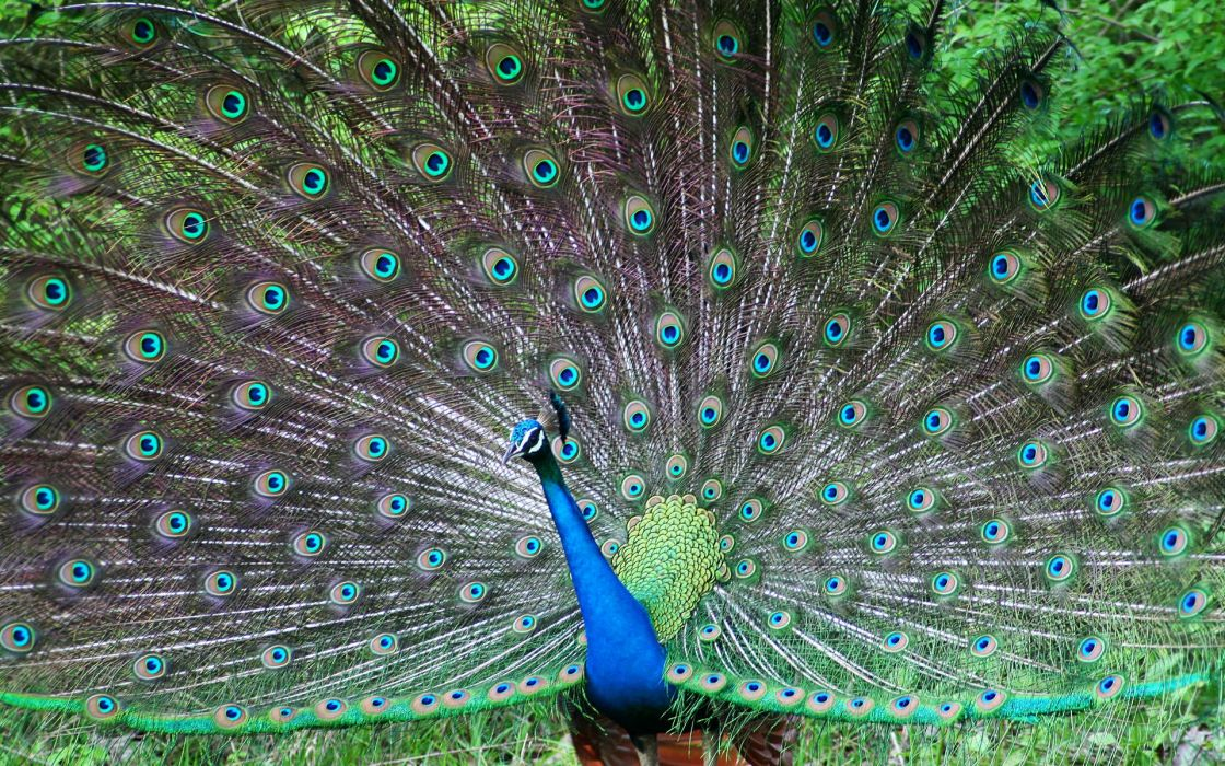 Indian peafowl wallpaper