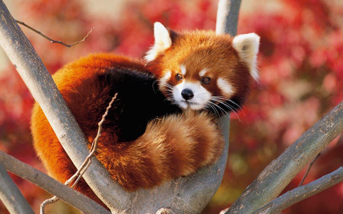 Lesser panda japan wallpaper