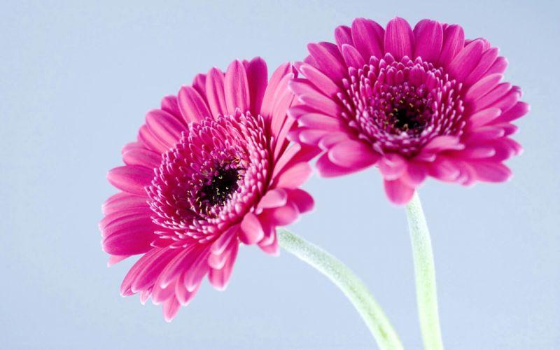 Purple gerbera daisies wallpaper