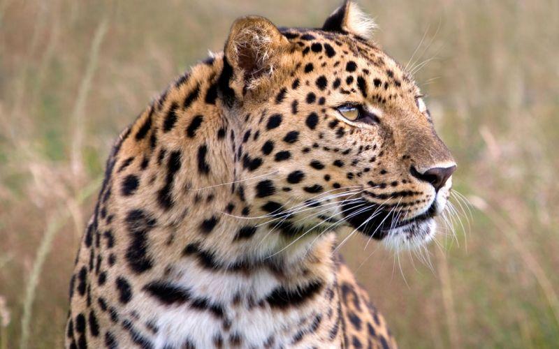 Male amur leopard wildlife heritage uk wallpaper