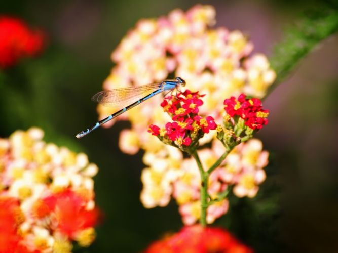 Blue dragonfly on a red flower wallpaper