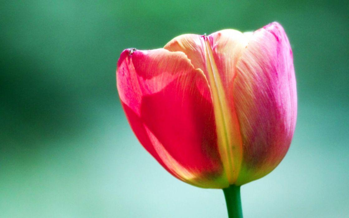 Pink tulip flower wallpaper