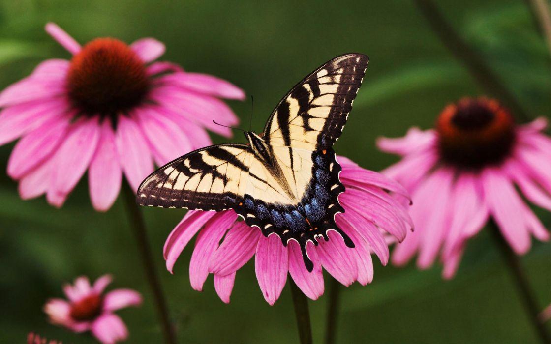 Tiger swallowtail butterfly purple coneflower wallpaper