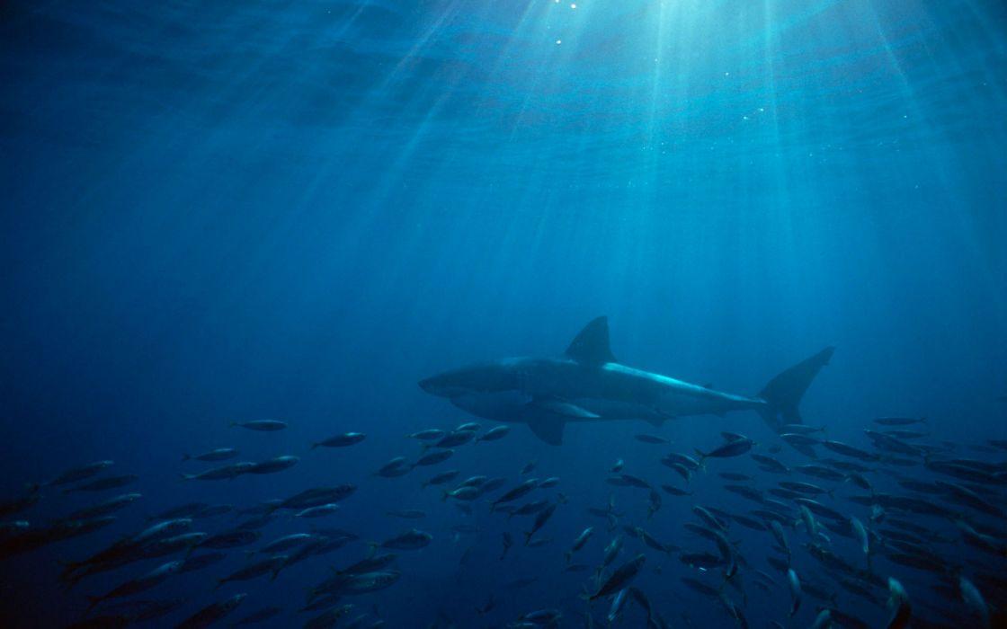 Great white shark australia wallpaper