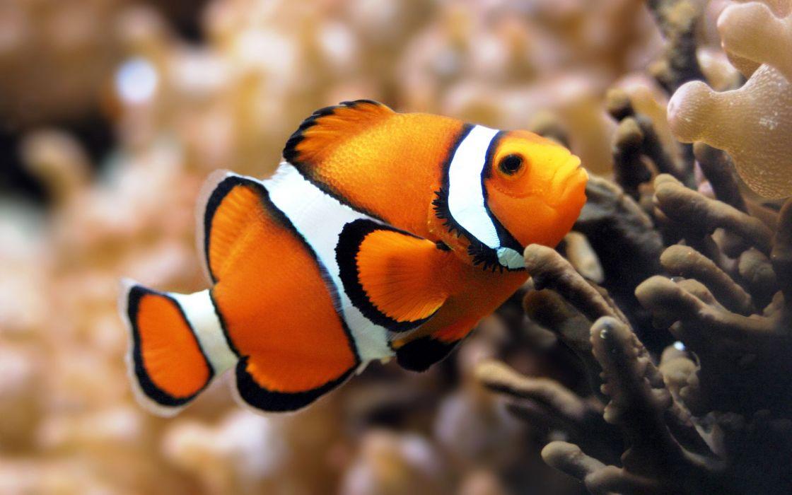 Orange clownfish wallpaper