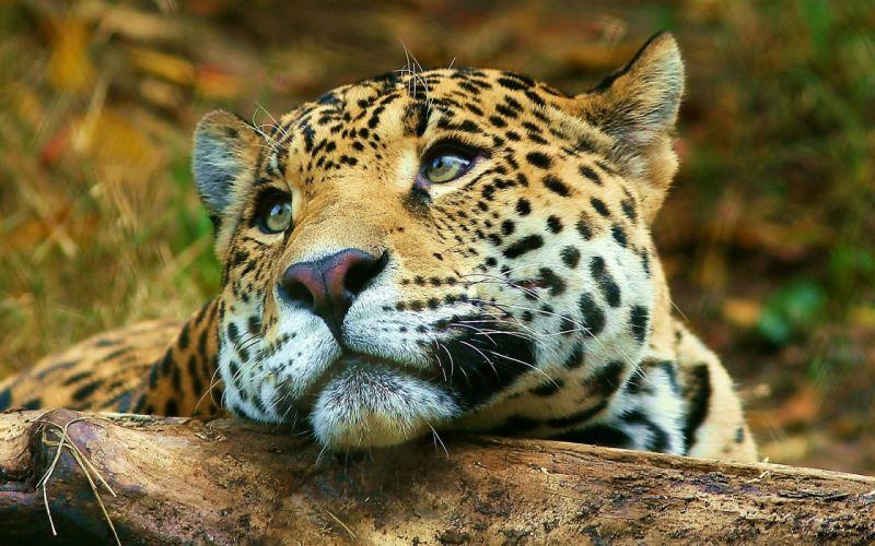 Leopard daydreaming wallpaper