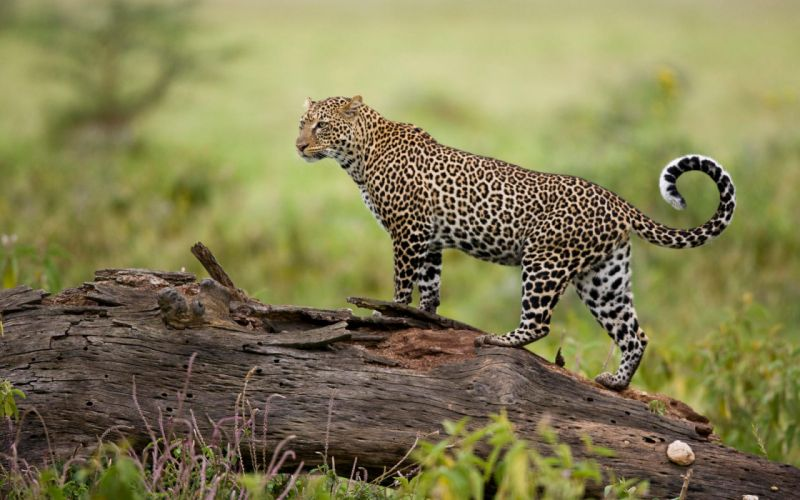 Leopard kenya wallpaper