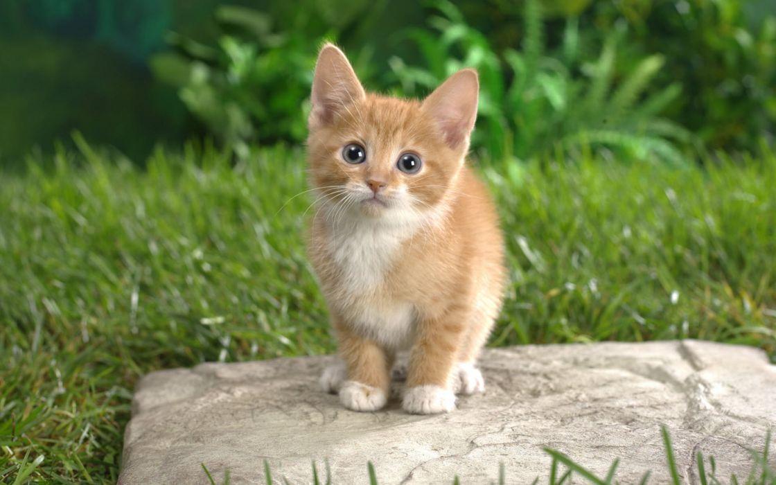 Curious tabby kitten wallpaper