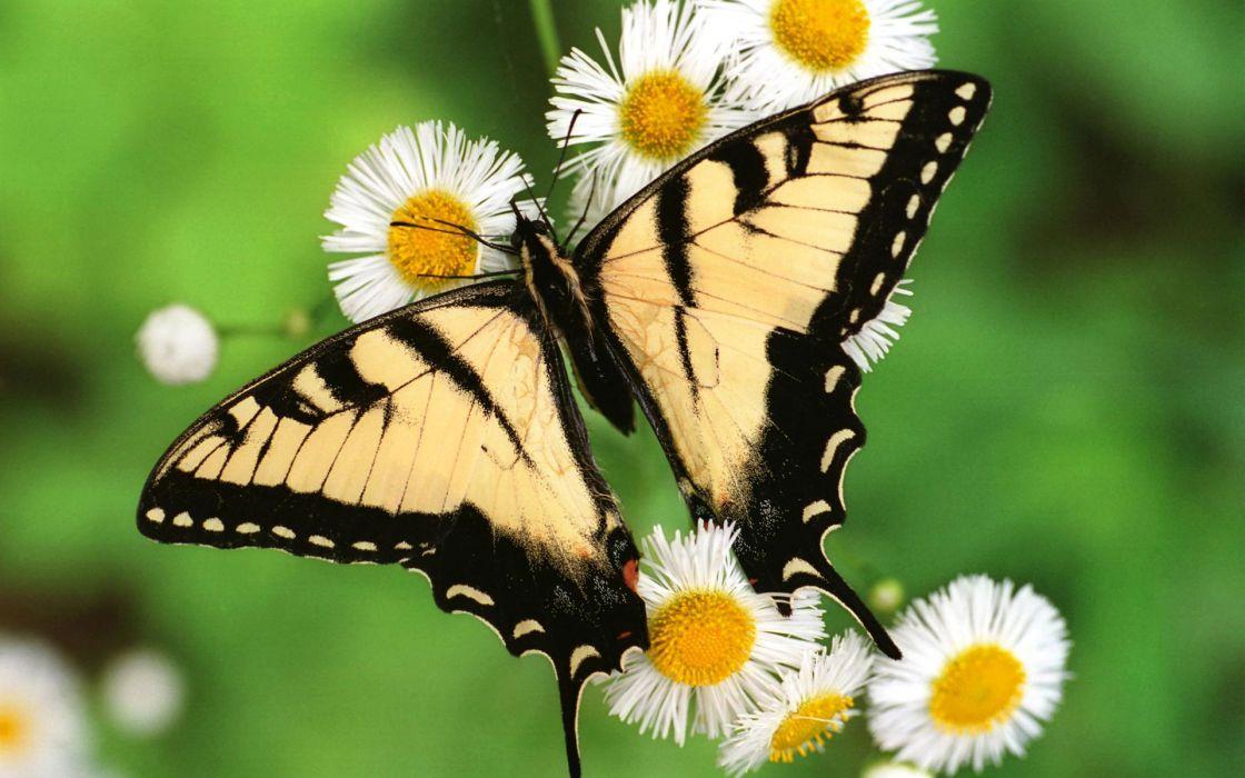 Tiger swallowtail butterfly wallpaper