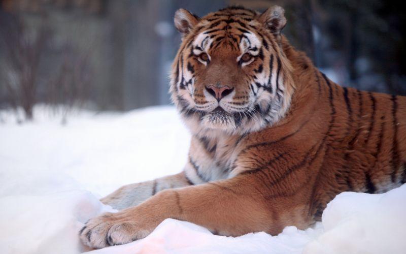 Tiger snow wide wallpaper