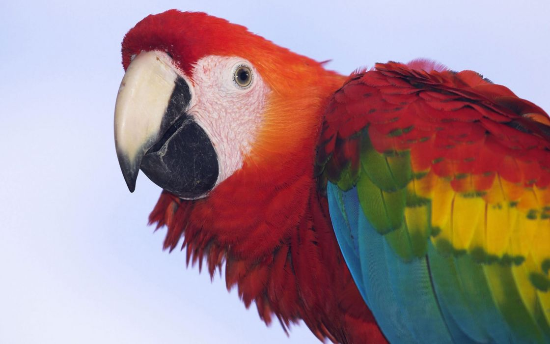 Profile of a scarlet macaw wallpaper