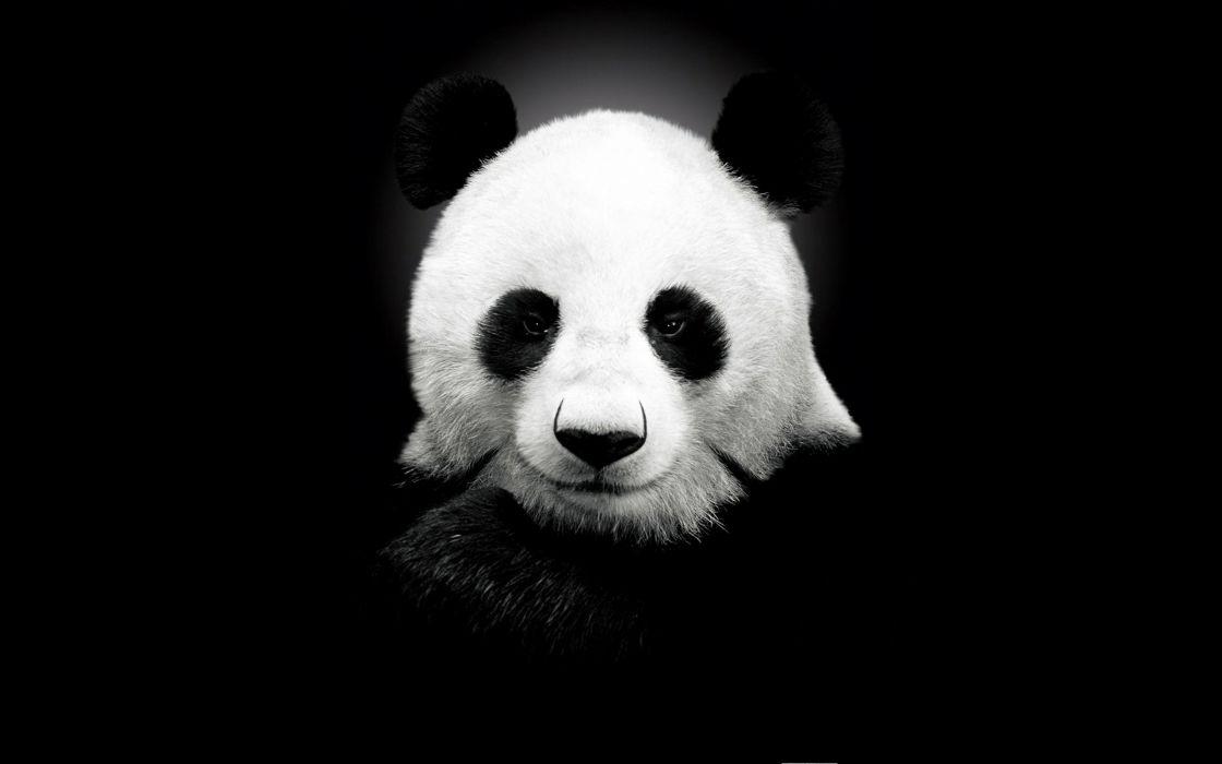 Giant panda black and white wallpaper