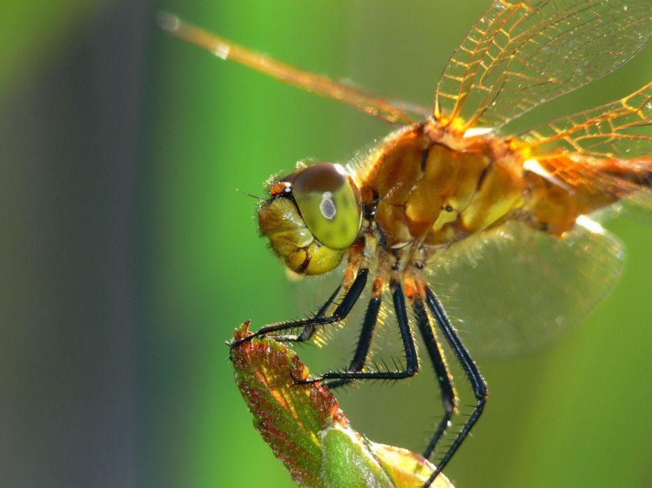 Close up shot of golden dragonfly wallpaper