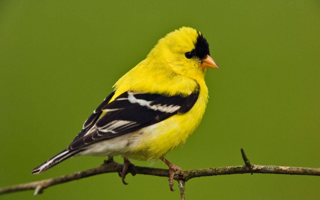 American goldfinch wallpaper