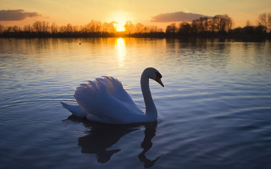 Mute swan wallpaper