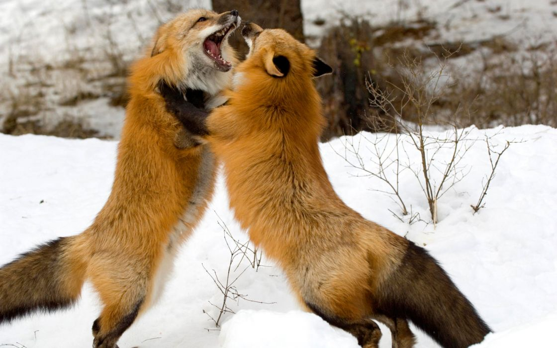 Red foxes montana wallpaper
