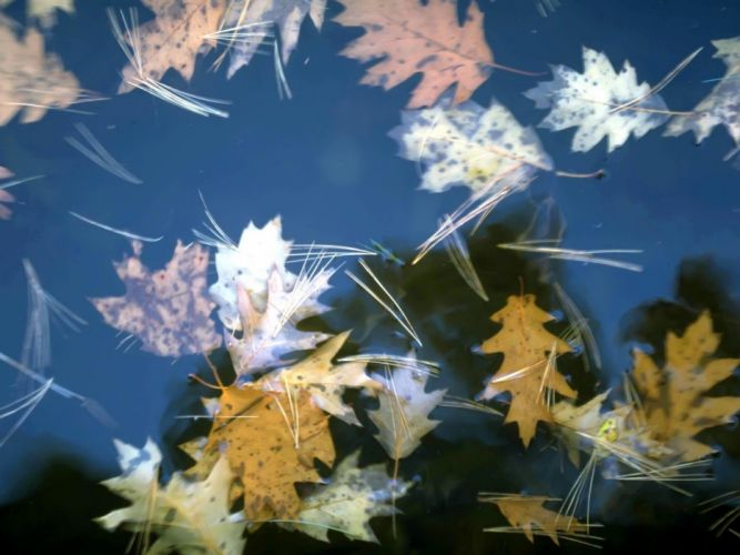 Leaves floating on water wallpaper