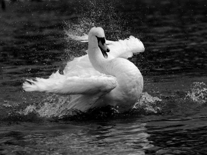 Black and white swan wallpaper