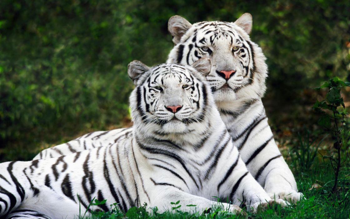 White bengal tigers wallpaper