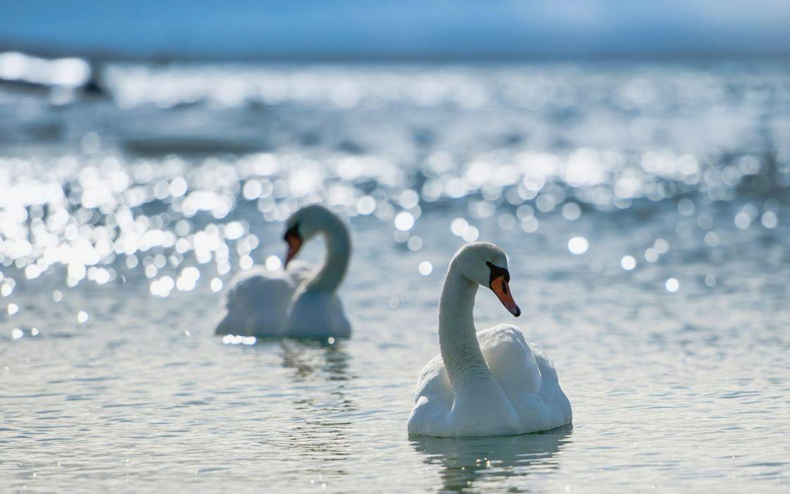 White swans wallpaper