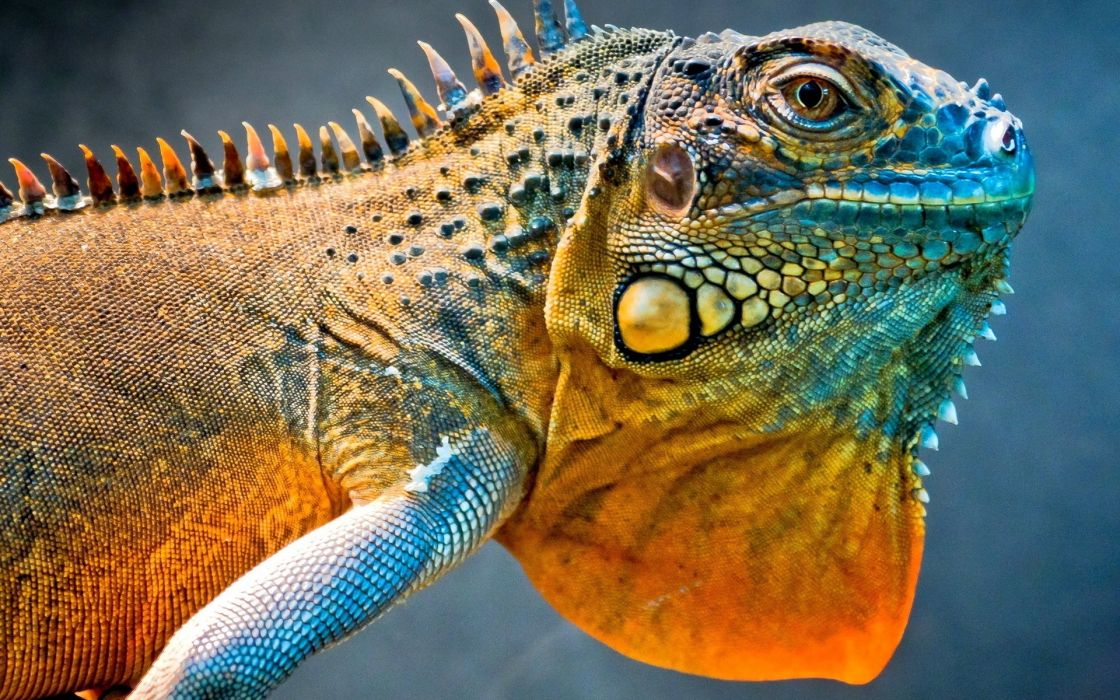 Amazing iguana wallpaper