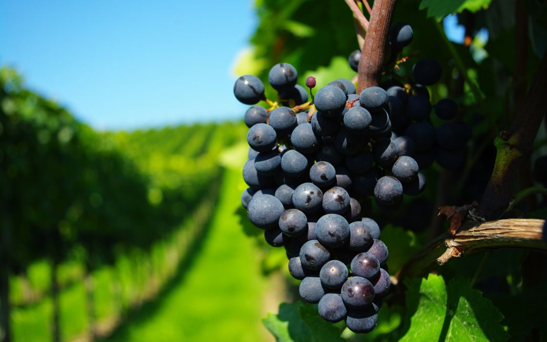 Ripe grapes wallpaper