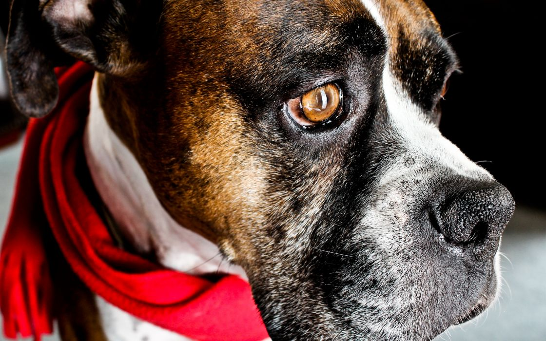 Dog with red scarf wallpaper