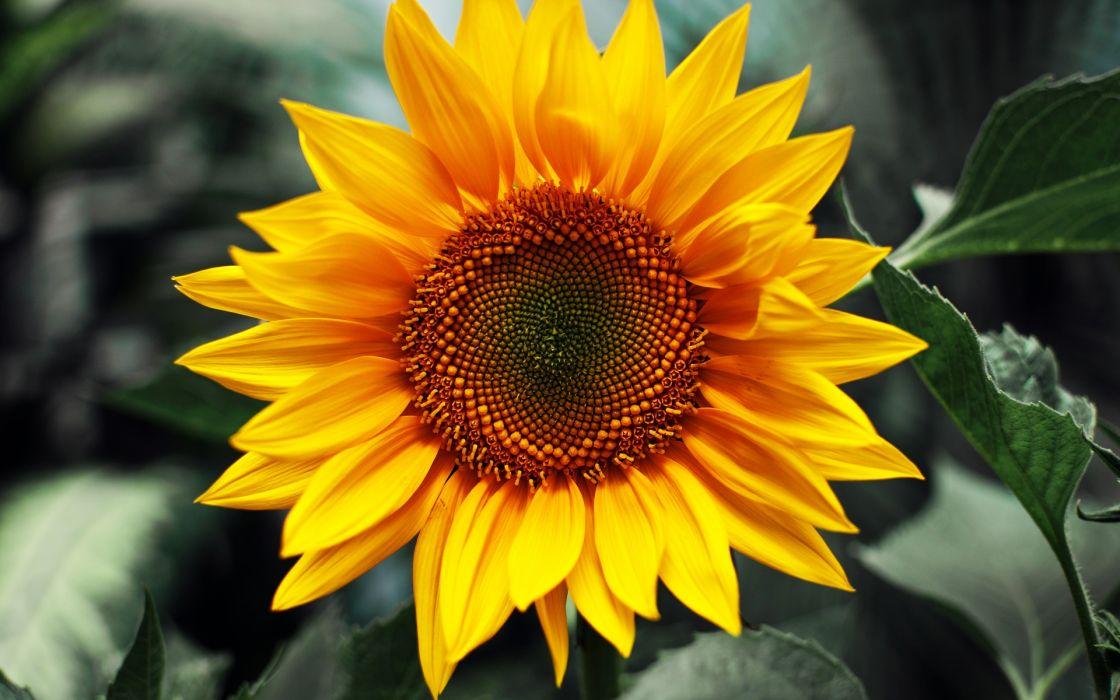 Just sunflower wallpaper