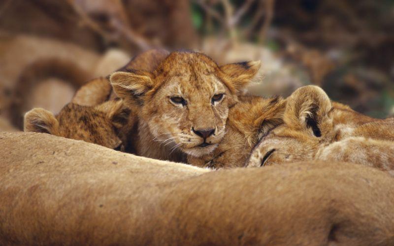 Lions cubs wallpaper