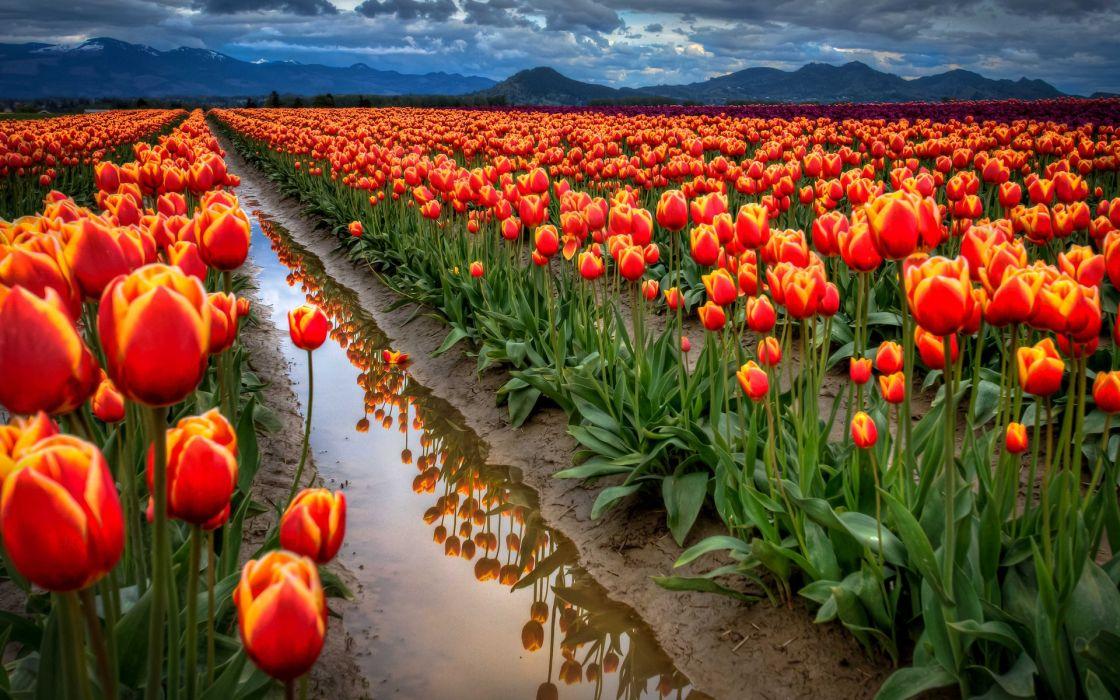 All around tulips wallpaper